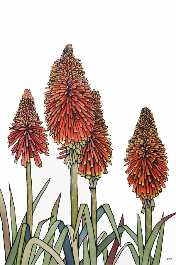 Too Hot to Handle - Red Hot Pokers